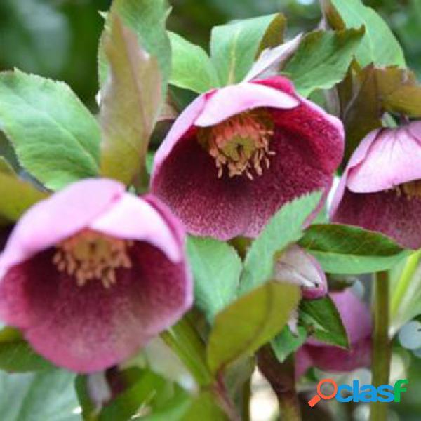 100 pcs / bag sementes helleborus inverno rosa flor crescem no inverno rare flower seeds outdoor plant