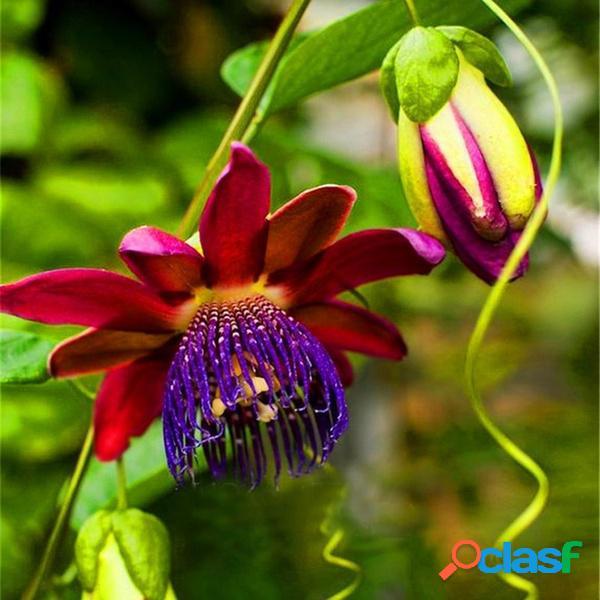 100 pçs / saco maracujá sementes de videira fruta passiflora bonsai sementes para casa jardim