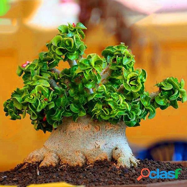 50 unidades banyan sementes chinês raro ficus microcarpa árvore bonsai ginseng banyan garden tree plantadores ao ar livre