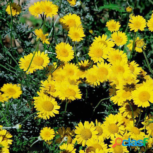50 unidades / pacote camomila amarela sementes 100 unidades / pacote flor sementes