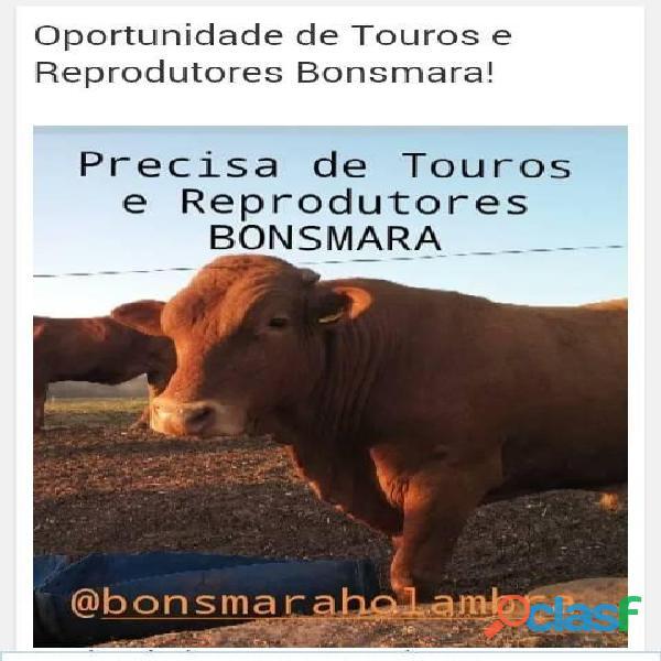 Bonsmara Touros e Reprodutores a Venda