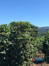 Fazenda Com 30 Alqueires Com 149 Mil Pés De Café Arábica Na Cidade de Caconde 12