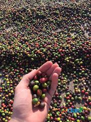 Fazenda Com 30 Alqueires Com 149 Mil Pés De Café Arábica Na Cidade de Caconde 2