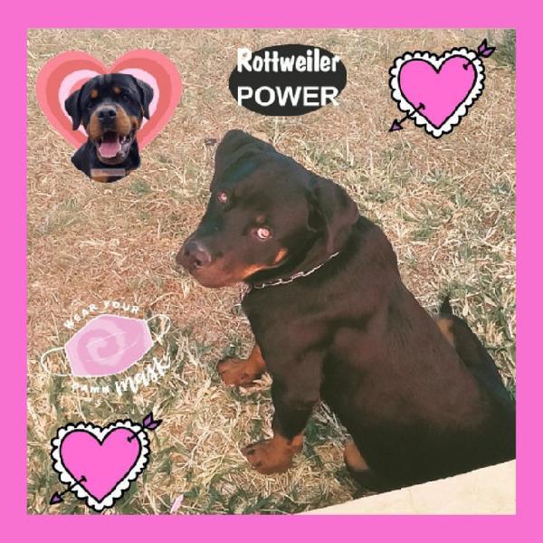 Rottweiler filhote macho lindíssimo(pais c pedigree)