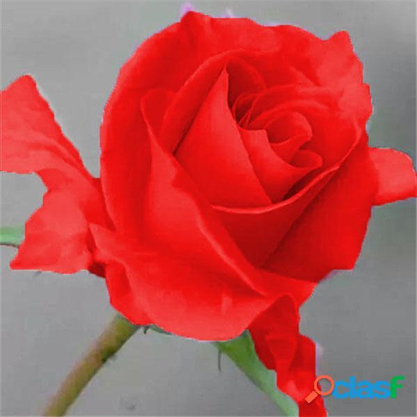 Rose rosa flor de bonsai semente de pêssego rosa para quartos interiores semente 100 partículas / lote