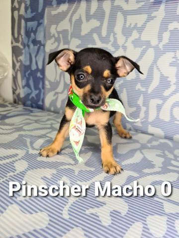 Pinscher garantia e procedência