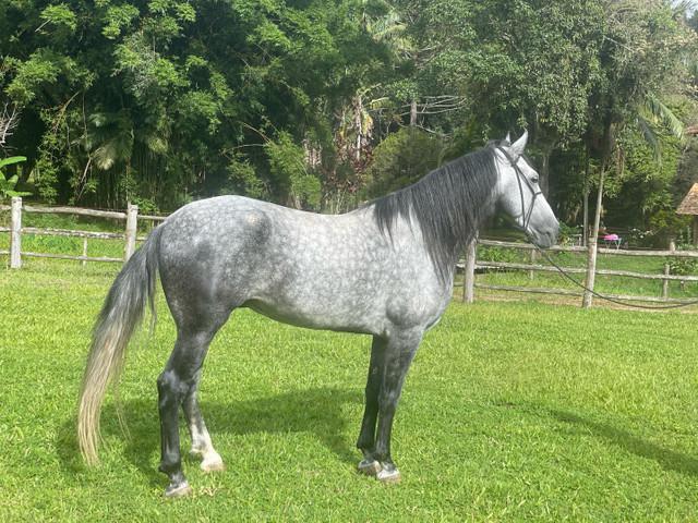 Cavalo mangalarga machador inteiro marcha batida- 7 anos -