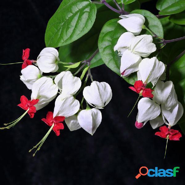 Egore 20pcs clerodendrum thomsonae balf sementes raro flor jardim bonsai sementes