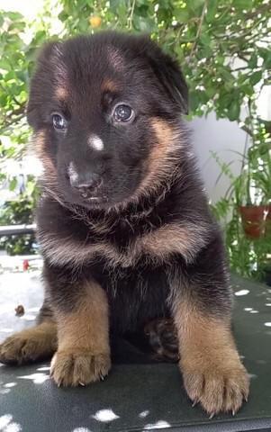 Belos cães de pastor alemão com vacina e pedigree