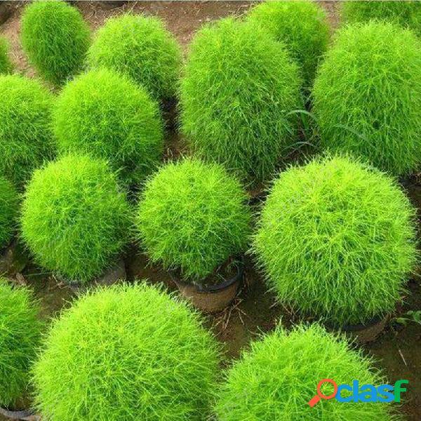 200 pçs / bolsa cypress rodada sementes verão cypress bonsai purificar ar bonsai pote planta para casa decoração do jard