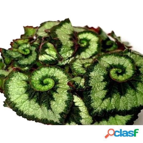 100 unidades / bolsa flor coleus verde sementes lindo bonsai interno / externo planta