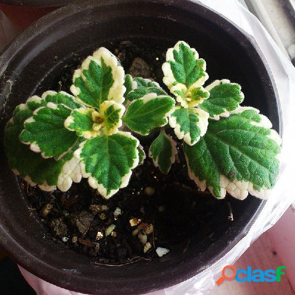 200 pcs / bolsa mosaico de hortelã sementes vegetal sementes varanda em vasos de hortelã-pimenta aromático planta sement