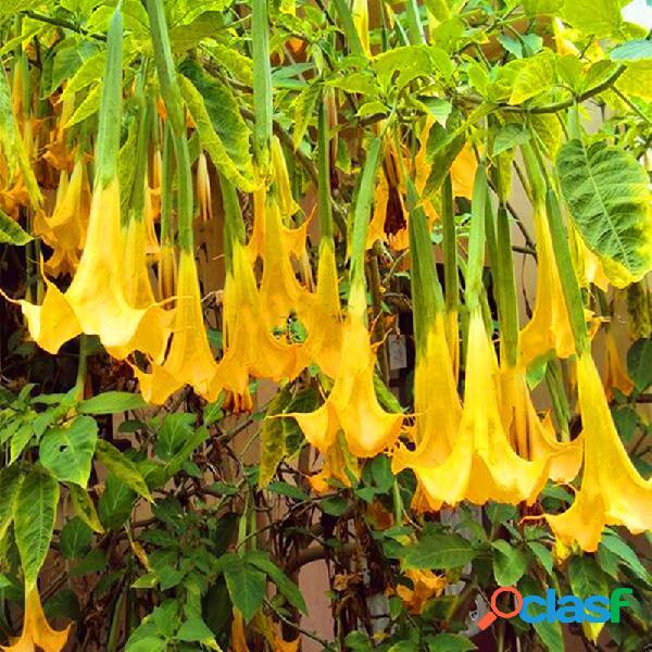 Egrow 50 pcs / bolsa sementes anjo trompete amarelo sementes enorme perfumado flores de trombeta