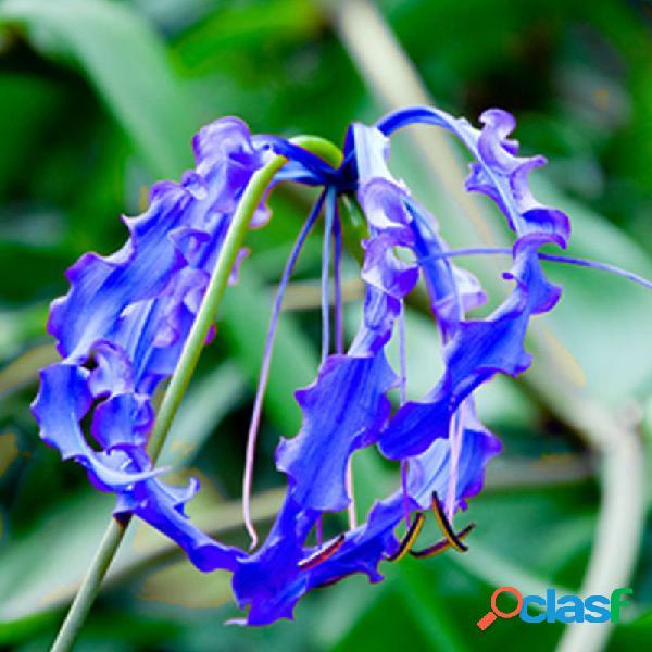 Egrow 50 pcs / bolsa lírio chama azul sementes rápido crescimento bonsai sementes plantas de florescência exóticas semen