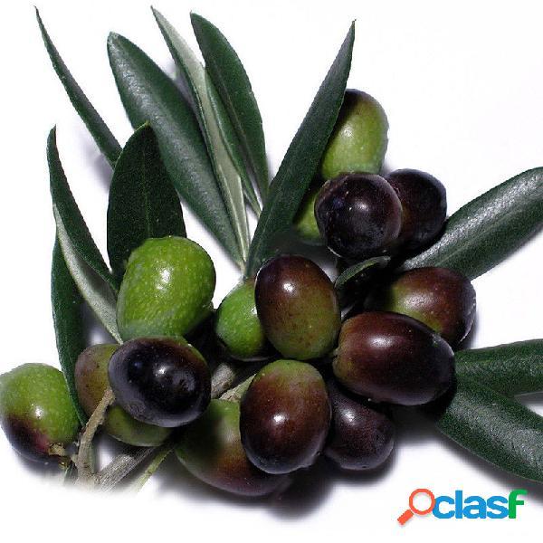 Egrow 100 pcs / bolsa mini olive sementes frutas sementes bonsai plantas para jardim planta exótica espécie sementes