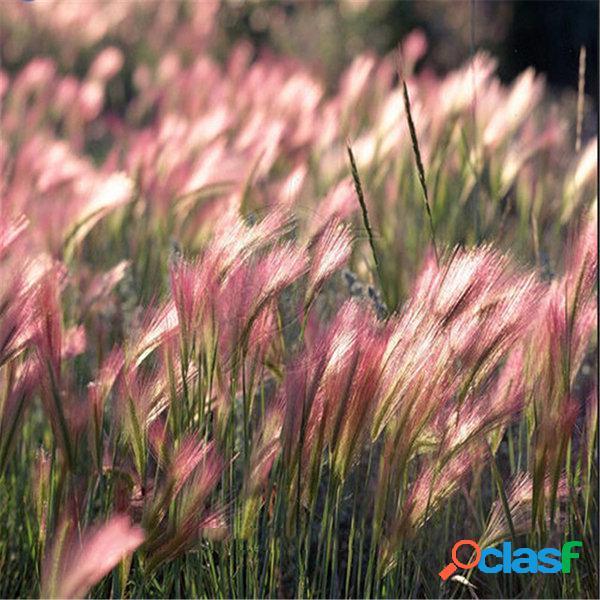 Egrow 30pcs / bolsa rabbit tail grass sementes grass cevada hordeum jubatum herb sementes para home garden