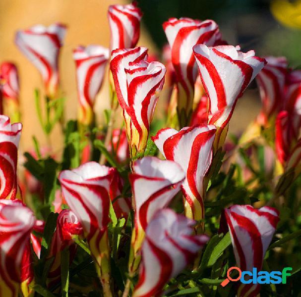 Egrow 100pcs / bolsa oxalis versicolor candy cane sorrel sementes raro flores sementes para plantas de jardim doméstico