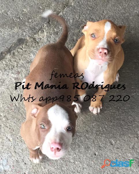 Lindos filhotes de apbt american pit bull terrier