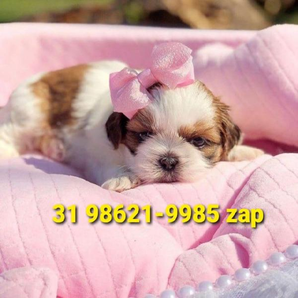 Cães filhotes canil em bh shihtzu poodle maltês basset