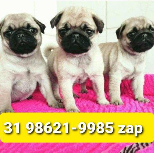 Cães filhotes mini pug yorkshire shihtzu maltês poodle