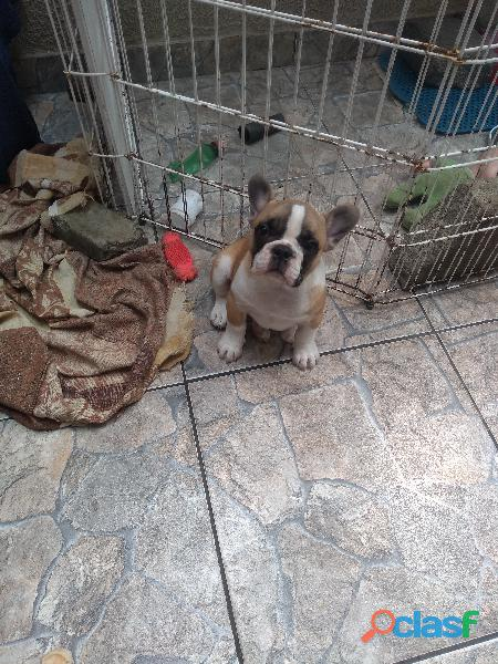 Bulldog francês macho, 2 meses