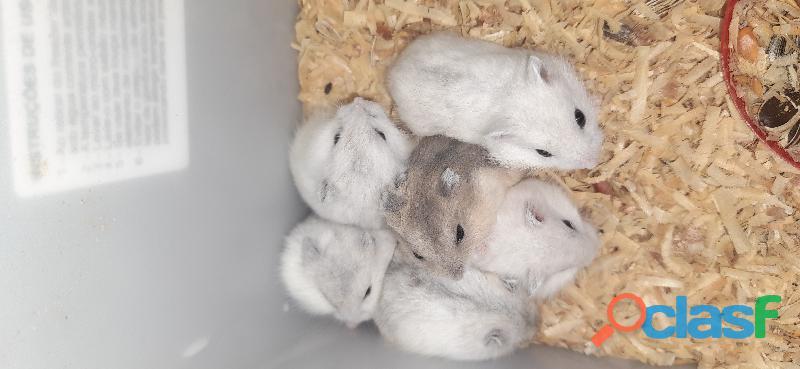 Hamster anão russo pérola