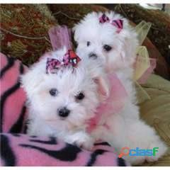 Preciosos cachorros malteses de 12 semanas