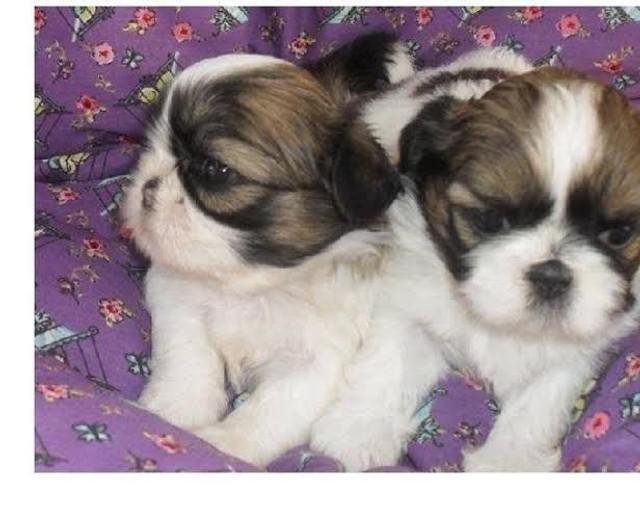 Shih tzu micro lindos pedigree entregamos